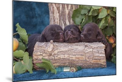 Pile of Sleeping Labrador Retriever Puppies-Zandria Muench Beraldo-Mounted Photographic Print