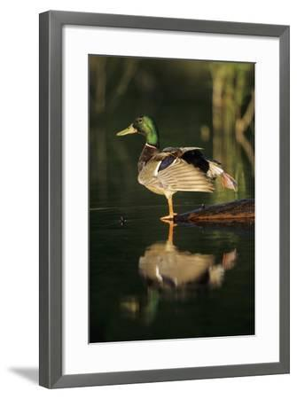 Mallard Male in Wetland Stretching His Legs, Marion County, Illinois-Richard and Susan Day-Framed Photographic Print
