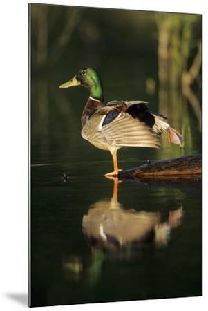 Mallard Male in Wetland Stretching His Legs, Marion County, Illinois-Richard and Susan Day-Mounted Photographic Print