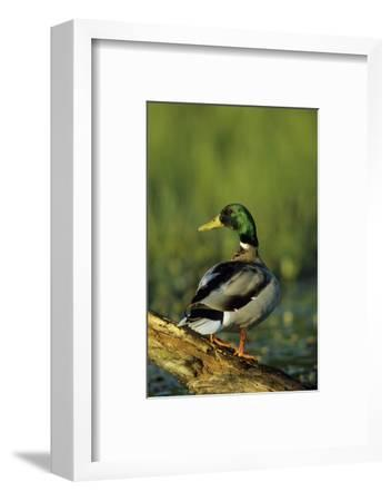 Mallard Male on Log in Wetland, Marion County, Illinois-Richard and Susan Day-Framed Photographic Print