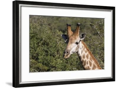 South Africa, Durban, Tala Game Reserve. Giraffe, Head Detail, Male-Cindy Miller Hopkins-Framed Photographic Print