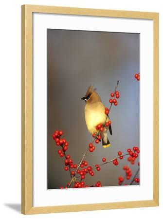 Cedar Waxwing in Common Winterberry, Marion, Il-Richard and Susan Day-Framed Photographic Print