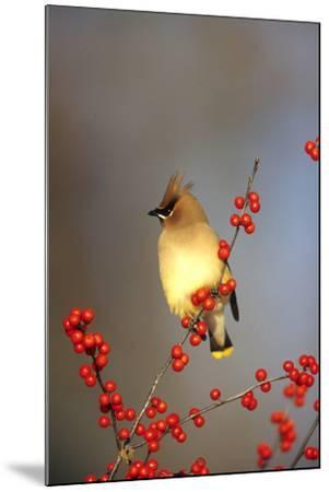 Cedar Waxwing in Common Winterberry, Marion, Il-Richard and Susan Day-Mounted Photographic Print