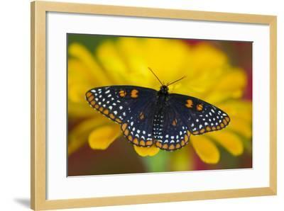 Colorful Baltimore Checkered Spot Butterfly-Darrell Gulin-Framed Photographic Print