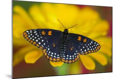 Colorful Baltimore Checkered Spot Butterfly-Darrell Gulin-Mounted Photographic Print