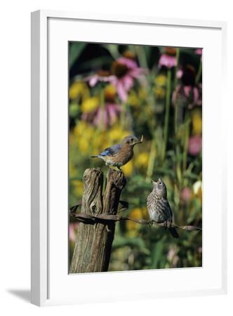 Eastern Bluebird Female Feeding Fledgling on Fence Near Flower Garden, Marion, Il-Richard and Susan Day-Framed Photographic Print