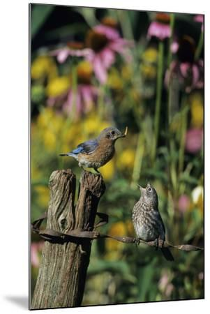 Eastern Bluebird Female Feeding Fledgling on Fence Near Flower Garden, Marion, Il-Richard and Susan Day-Mounted Photographic Print