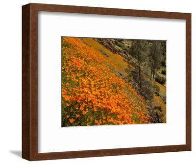 USA, California, El Portal. California Poppies Along Hite Cove Trail Near Yosemite National Park-Ann Collins-Framed Photographic Print