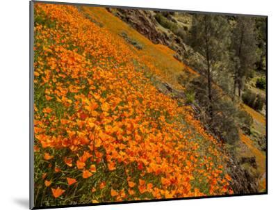 USA, California, El Portal. California Poppies Along Hite Cove Trail Near Yosemite National Park-Ann Collins-Mounted Photographic Print