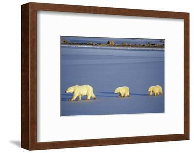 Polar Bears Female with 2 Cubs Walking on Frozen Pond, Churchill, Manitoba, Canada-Richard and Susan Day-Framed Photographic Print