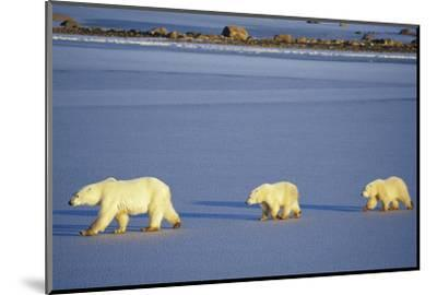 Polar Bears Female with 2 Cubs Walking on Frozen Pond, Churchill, Manitoba, Canada-Richard and Susan Day-Mounted Photographic Print