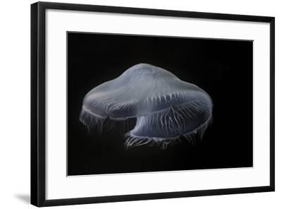 USA, Tennessee, Chattanooga. Moon Jellyfish in Aquarium-Jaynes Gallery-Framed Photographic Print