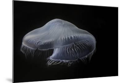USA, Tennessee, Chattanooga. Moon Jellyfish in Aquarium-Jaynes Gallery-Mounted Photographic Print
