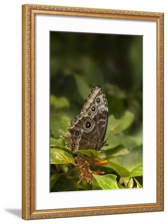 USA, Tennessee, Chattanooga. Giant Owl Butterfly on Leaf-Jaynes Gallery-Framed Photographic Print