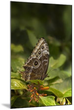 USA, Tennessee, Chattanooga. Giant Owl Butterfly on Leaf-Jaynes Gallery-Mounted Photographic Print