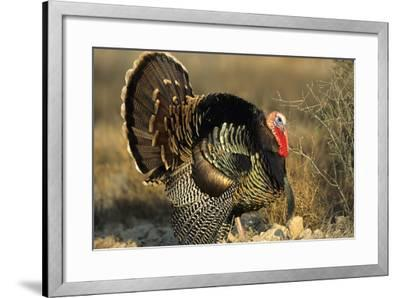 Rio Grande Wild Turkey Gobbler Strutting, Starr County, Texas-Richard and Susan Day-Framed Photographic Print