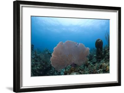Common Sea Fan, Ambergris Caye, Belize-Pete Oxford-Framed Photographic Print