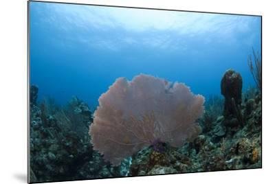 Common Sea Fan, Ambergris Caye, Belize-Pete Oxford-Mounted Photographic Print