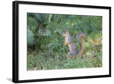 Eastern Fox Squirrel Foraging on Forest Floor-Larry Ditto-Framed Photographic Print