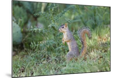 Eastern Fox Squirrel Foraging on Forest Floor-Larry Ditto-Mounted Photographic Print