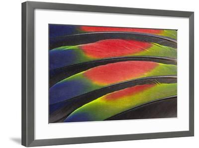 Colorful Wing Feathers of the Amazon Parrot-Darrell Gulin-Framed Photographic Print