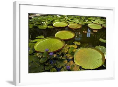Giant Water Lilies, Wintergardens, Auckland Domain, Auckland, North Island, New Zealand-David Wall-Framed Photographic Print