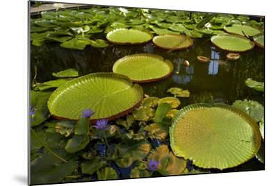 Giant Water Lilies, Wintergardens, Auckland Domain, Auckland, North Island, New Zealand-David Wall-Mounted Photographic Print
