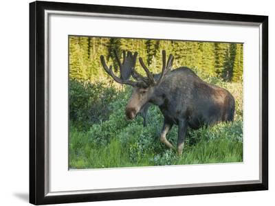 USA, Colorado, Brainard Lake Recreation Area. Bull Moose with Velvet Antlers-Jaynes Gallery-Framed Photographic Print