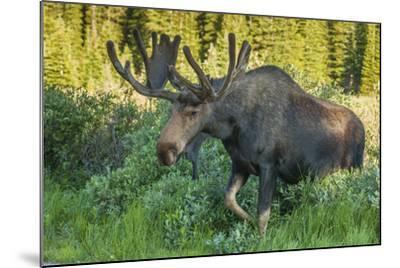 USA, Colorado, Brainard Lake Recreation Area. Bull Moose with Velvet Antlers-Jaynes Gallery-Mounted Photographic Print