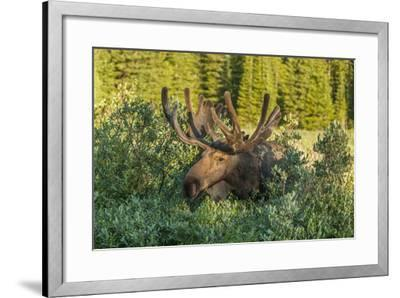 USA, Colorado, Brainard Lake Recreation Area. Bull Moose with Velvet Antlers-Jaynes Gallery-Framed Photographic Print