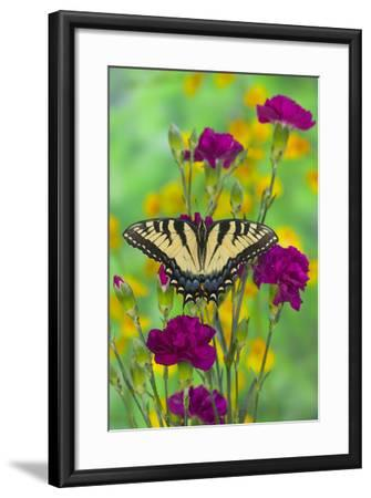 Eastern Tiger Swallowtail-Darrell Gulin-Framed Photographic Print