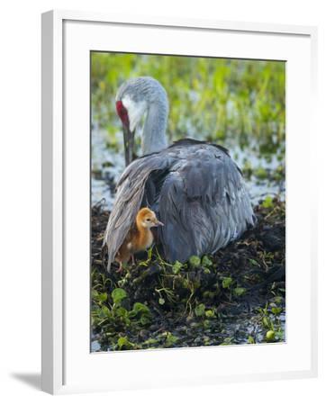Sandhill Crane on Nest with Colt under Wing, Florida-Maresa Pryor-Framed Photographic Print