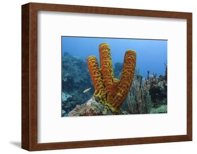 Convoluted Barrel Sponge, Hol Chan Marine Reserve, Belize-Pete Oxford-Framed Photographic Print