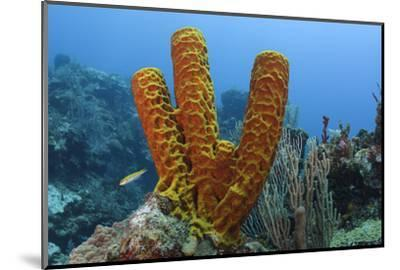 Convoluted Barrel Sponge, Hol Chan Marine Reserve, Belize-Pete Oxford-Mounted Photographic Print