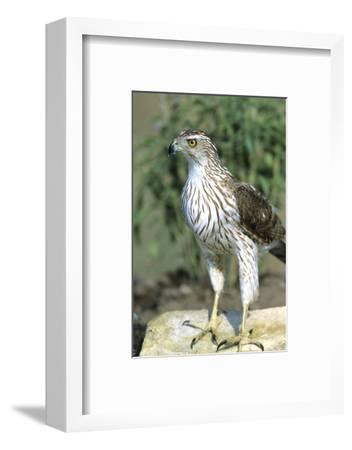 Cooper's Hawk Immature, Starr County, Texas-Richard and Susan Day-Framed Photographic Print