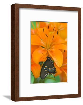 Spicebush Swallowtail Butterfly-Darrell Gulin-Framed Photographic Print