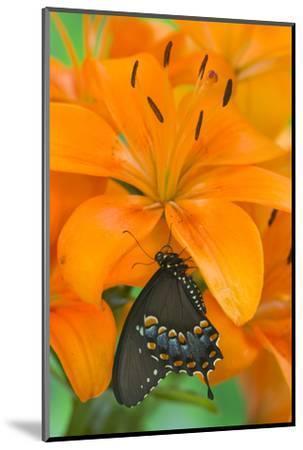 Spicebush Swallowtail Butterfly-Darrell Gulin-Mounted Photographic Print