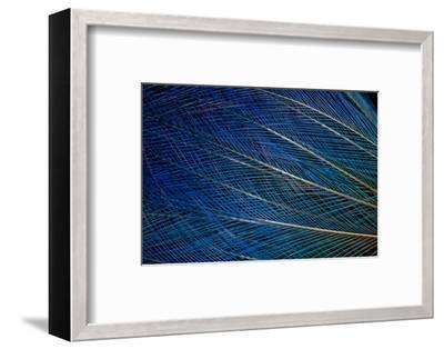 Top Knot Feathers of the Blue Bird of Paradise-Darrell Gulin-Framed Photographic Print