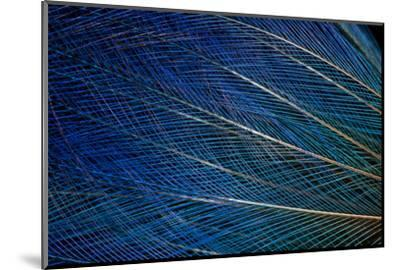 Top Knot Feathers of the Blue Bird of Paradise-Darrell Gulin-Mounted Photographic Print