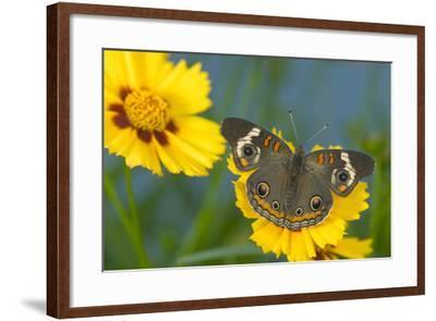 Buckeye Butterfly-Darrell Gulin-Framed Photographic Print