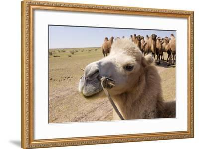 Asia, Western Mongolia, Lake Tolbo, Bactrian Camels-Emily Wilson-Framed Photographic Print