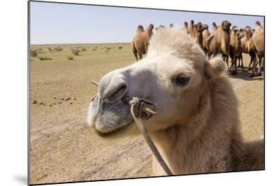Asia, Western Mongolia, Lake Tolbo, Bactrian Camels-Emily Wilson-Mounted Photographic Print