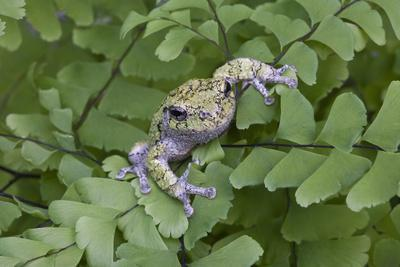 Canada, Quebec, Mount St-Bruno Conservation Park. Gray Tree Frog on Maidenhair Fern-Jaynes Gallery-Framed Photographic Print