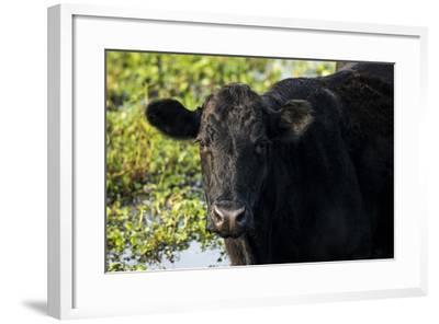 Black Angus Cow, Florida-Maresa Pryor-Framed Photographic Print