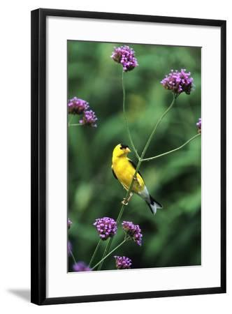 American Goldfinch Male on Brazilian Verbena in Garden, Marion, Il-Richard and Susan Day-Framed Photographic Print
