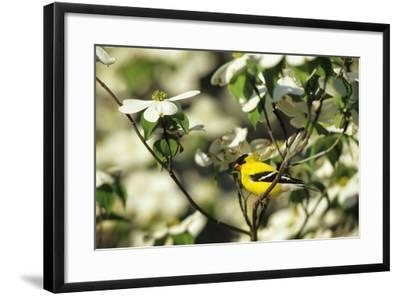 American Goldfinch Male in Flowering Dogwood Tree, Marion, Il-Richard and Susan Day-Framed Photographic Print