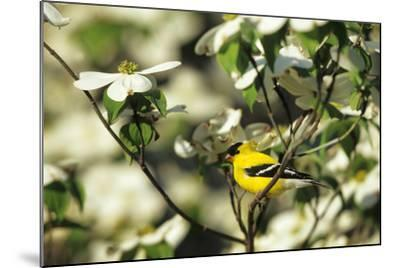 American Goldfinch Male in Flowering Dogwood Tree, Marion, Il-Richard and Susan Day-Mounted Photographic Print
