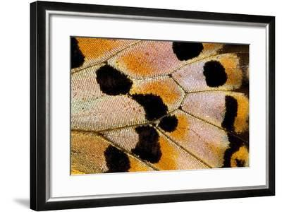 Close-Up Detail Wing Pattern of Tropical Butterfly-Darrell Gulin-Framed Photographic Print