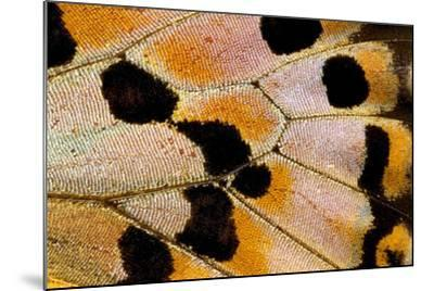 Close-Up Detail Wing Pattern of Tropical Butterfly-Darrell Gulin-Mounted Photographic Print