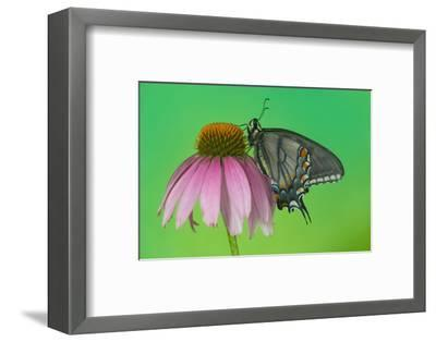 Black Form of Eastern Tiger Swallowtail Butterfly-Darrell Gulin-Framed Photographic Print